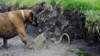 狗狗挑战毒蛇, 被一口咬到, 太可怕了