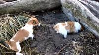 两只狗狗被奇怪的声音吵醒, 发怒的汪星人决心把它刨出来!