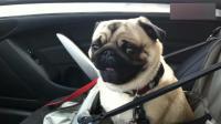 狗狗第一次坐车出门, 情绪暴躁, 主人是不是要把我卖了