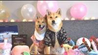 主人给柴柴过生日 结果被两只狗狗秀了一脸恩爱-