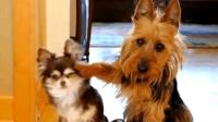 爆笑狗狗视频集合, 太逗了