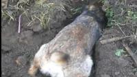 带着狗狗到农田地里挖坑抓老鼠, 这挖坑的速度堪比钻地鼠啊