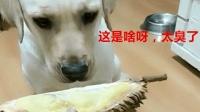主人拿出榴莲, 狗狗被熏得赶紧捂鼻子, 这个动作是认真的吗?