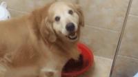 主人问金毛鞋怎么湿了, 没想到狗狗竟然给主人演示了一遍, 狗狗你是不是傻呀
