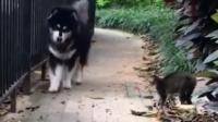 阿拉斯加碰到猫, 被吓的浑身哆嗦, 狗狗: 谁还不是个宝宝