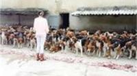 200只狗狗训练的如同军队, 食物放嘴边, 没有主人命令绝不吃一口