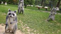 可爱的小浣熊在街头看到了奇怪的东西, 组团去索要零食