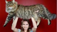 猞猁在人轻抚下, 乖的像猫像狗, 爪子比人手大