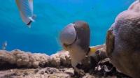 一条会使用工具的鱼, 懂得花式开蛤蜊, 恐怕比你还聪明