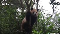 大熊猫圆润: 圆润树上尬舞, 小树遭了殃