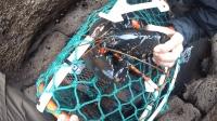 海边石缝里下地笼, 螃蟹龙虾海鲜全都有, 让你很是羡慕