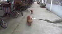 【萌犬仁球】狗狗怎么突然草木皆兵?