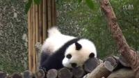 2014-04-19 圓仔磨屁屁!The Giant Panda Yuan-Zai (480p)