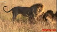 雄獅戰鬥到死