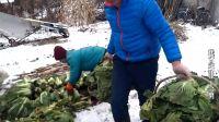 南方媳妇初见东北农村雪地收白菜