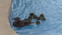 鸭妈妈带小鸭子来游泳