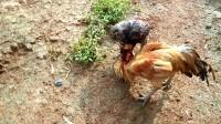 斗鸡:鸡主自称他家鸡是土鸡王向(小鬼)发起挑战,一挑三,第一只没拍到
