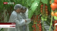 荷兰番茄北京结硕果  全国最大的番茄温室落户大兴 北京新闻 170315