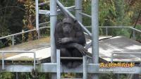 黄大叔带你看日本:京都大学灵长类科学的黑猩猩研究室