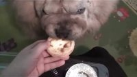 【萌犬仁球】小狮子吃蛋挞差点吃出事故来!