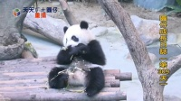 20140511 D309_圓仔成長日記 The Giant Panda Yuan-Zai (480p)