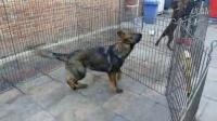 东德牧羊犬-精致犬舍-狼灰色-二代犬
