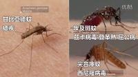 【冯导】蚊子随身携带六把刀?比吃西餐还复杂的吸血技巧