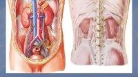[中山大学][人体解剖学][36课]07泌尿生殖系统