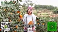 爱媛介绍20141102脐橙胜丑柑不知火桔橘橙子新鲜水果批发进口有机食品年货特产