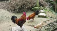 斗鸡:黑狼战鸡群 农黄发生意外。