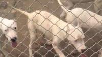 纯种杜高价格真实杜高犬视频杜高幼犬