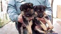 德牧PK黑背狼犬犬舍介绍中心配种名犬看家犬训犬哪里卖多少钱