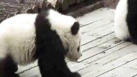 Pandas Little Zhang Ka and Little Xi Xi