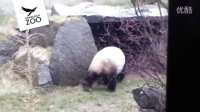 Yang Guang - Giant Panda Scent Marking at Edinburgh Zoo