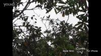 红树林看到的长鼻猴和银背猴!