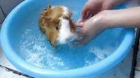 荷兰猪罗密欧洗澡