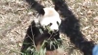 Panda Eating Bamboo at National Zoo