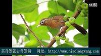 画眉鸟叫声—公画眉鸟和母画眉鸟的合唱叫声