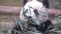 Giant Panda Experience Preview Event at the Toronto Zoo May