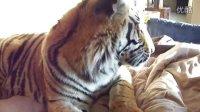 被老虎舔是什么感觉呢