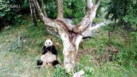 成都大熊猫 Giant Panda in Chengdu