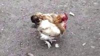 农家母鸡斗公鸡