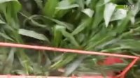 四盘割台收获玉米实验
