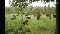 黑山羊价格多少钱一斤,黑山羊的价格