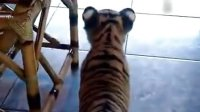你是老虎你知道吗 被一只小狗追着跑