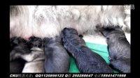 艾娃多吉小狗哺乳视频
