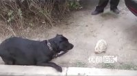视频: 【拍客】当狗狗遇上刺猬,彩乐方平台线长总代+1045530088