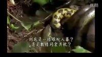 動物世界    蛇是怎么交配
