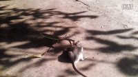 昆虫的逆袭:螳螂吃老鼠!