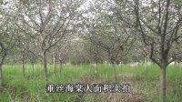 苗商苗木特卖汇 垂丝海棠实拍视频2【temai.huamu.cn】